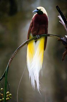 Información sobre ave del paraíso