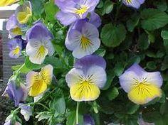 "Edible Flowers Viola cornutaJohnny Jump Up / VioletPerennialBlue/Purple/Yellow7""Spring/Summer"