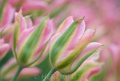 Tulipa 'Virichic', Tulpe, Tulpen