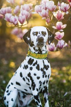 © Brooke Tyson Photography | lifestyle dog photography, #Dalmatian