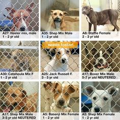 these dogs are all URGENT today. please help anyway you can: share / pledge / rescue / foster / ADOPT!! https://www.facebook.com/speakingupforthosewhocant/photos/pb.248355401855372.-2207520000.1414793451./866752870015619/?type=3&theater