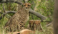 Makweti Safari Lodge is ideally positioned to explore the entire Welgevonden Game Reserve on the open safari vehicles accompanied by the professional game rangers. Game Lodge, Cheetahs, Game Reserve, Lodges, South Africa, Giraffe, Safari, Wildlife, African