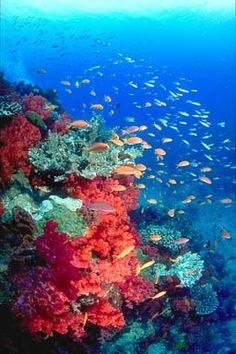 Fairy Basslets  Somosomo Strait, Taveuni, Fiji.