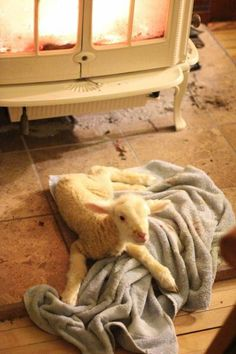 Aww, reminds me of how my grandparents would put the orphan lambs in their basement and keep them warm next to the woodstove!