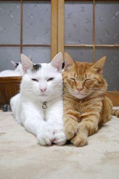 calm japanese cats    http://kagonekoshiro.blog86.fc2.com/blog-entry-5713.html#