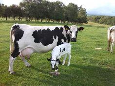 Droimeann Cattle (Irish native breed) @ Killrowan Farm, Co. Dexter Cattle, Miniature Cattle, Baby Cows, Pet Cows, Cow Pictures, Organic Beef, Dairy Cattle, Friesian, Small Farm