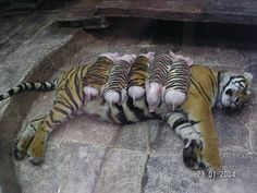 the story goes that a mother tiger lost her cubs due to premature labour. shortly after, she became depressed and her health declined. she was later diagnosed with depression. since tigers are endangered, every effort was made to secure her health. zoologists wrapped piglets up in tiger-print cloth, and presented them to the mother tiger. she now loves these piglets and treats them like her own. and needless to mention, her health is back on track. remember that we're all god's creatures ♥