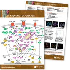 Regulation of Apoptosis Hand-out B Cell, Cell Growth, Pathways, Thesis, Diagram, Paths, Walking Paths