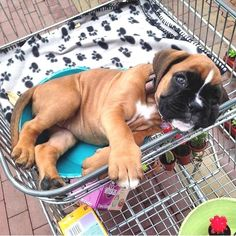 Boxer Dogs Who has a perfect Caption for this photo? Boxer And Baby, Boxer Love, Puppy Care, Pet Puppy, Dog Care, Cute Puppies, Cute Dogs, Baby Boxer Puppies, Boxer Dogs Facts