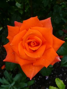 Deep Orange English Bush Rose: Gorgeous.