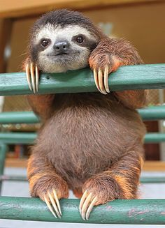 This sloth has dark circles around its eyes. It has a very small nose, and we are getting sort of a five o clock shadow vibe from him.