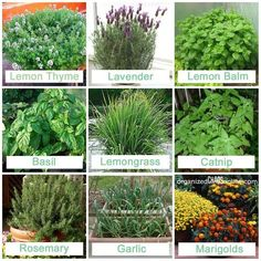 Stuff to plant that mosquitos HATE. Lets plant a few pots of these guys around the front and back porches!