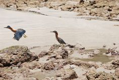 """Justo n the beach break you have a few steps from Casa Pampa, you can have the chance to see this beautiful Striated Heron (Butorides striata) also known in Costa Rica as """"Martin Peña"""" @Casa Pampa Santa Teresa.com"""