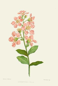 Beautiful, hand-colored bookplate of a crepe myrtle drawing. Beautiful blooms…