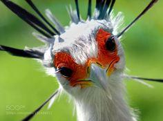 Secretary bird by rudiluyten. Please Like http://fb.me/go4photos and Follow @go4fotos Thank You. :-)