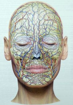 General view of the arteries, veins and nerves of the face. - - My MartoKizza Facial Anatomy, Head Anatomy, Human Body Anatomy, Human Anatomy And Physiology, Muscle Anatomy, Anatomy Art, Blood Vessels Anatomy, Blood Vessels On Face, Pic Of Human Body