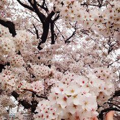 【iananccc】さんのInstagramをピンしています。 《桜🌸 . . . . . #sakura #love #tokyo #桜 #櫻花 #写真好きな人と繋がりたい #写真部 #写真 #japan #dailyview #team_jp#撮影》