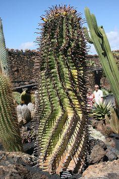 File:Teguise Guatiza - Jardin - Ferocactus townsendianus 02 ies.jpg
