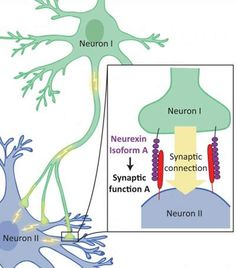 Researchers Survey Protein Family That Helps the Brain Form Synapses - NeuroscienceNews.com Groundbreaking study finds hundreds of variants of neurexin proteins, offering new evidence linking these differences to complex brain functions and disorders like autism. Credit Barbara Treutlein, Quake Lab, Stanford.