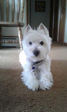 Jake 3-29-17 Westie Puppies, Westies, West Highland White, West Highland Terrier, Animal 2, White Terrier, White Dogs, Puppys, Beautiful Dogs