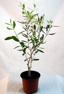 Amazon.com: Olive Tree - Tree of Peace - Olea europaea - 4""