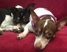 Meet Clyde and Chloe....they aren't Border Collies, but they are Wicked Cute Rat Terriers at the ARL shelter in Boston...who need a home!!!!!!