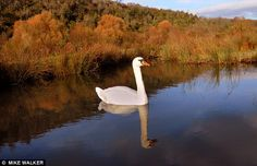 This swan stretches its wings during a spectacular Autumn day at the Wildfowl and Wetlands Trust at Arundel, West Sussex.