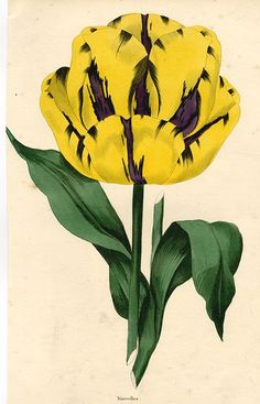 Tulip, Marcellus, 1838
