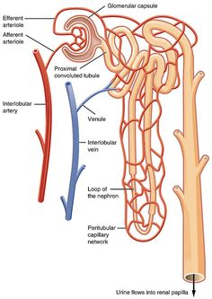 Renal Physiology, Human Anatomy And Physiology, Anatomy Organs, Body Anatomy, Kidney Anatomy, Medical Anatomy, Cardiac Anatomy, Chronic Renal Failure Diet, Physical Therapy