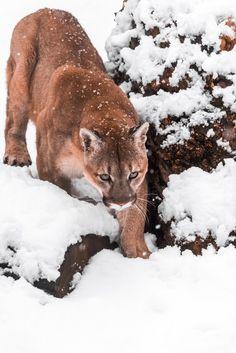 "restinforest: ""Portrait of a cougar, mountain lion, puma by Mike Kolesnikov on 500px"""