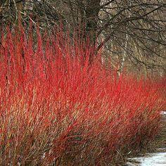 Cornus sanguinea - Cornouiller Plante 40 60 cm En Racine Nue Cornus sanguinea - Cornouiller sanguin - est un arbuste  http://www.plantes-et-arbres.com/cornus-sanguinea---cornouiller---plante-4060-cm-en-racine-nue-1459-p.asp