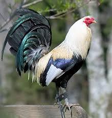 Resultado de imagen para gallos de pelea giros