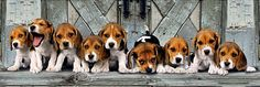 Panoramic beagle puzzle made by Clementoni