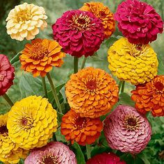 I love Zinnias!  I want to do a Zinnia wedding in the summer or fall, when zinnias are available from my wholesaler.