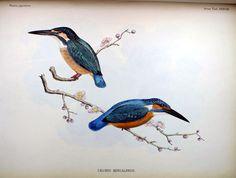 Description des oiseaux observés au Japon par les voyageurs Hollandais (1842) Calcedo bengalensis