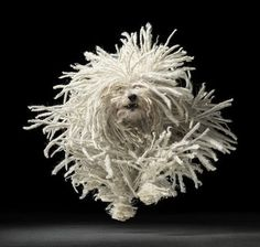 Komondor: I am assuming this is a Komondor because of it's light color and not a Puli or a  Bergamasco Shepherd. If I ever live out in the country again this is the dog for me!!