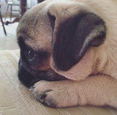 Pug profile