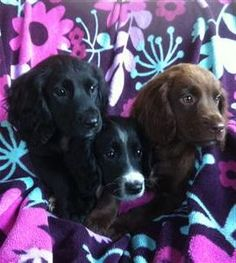 Working Cocker Spaniel puppies. Such a lovely breed.