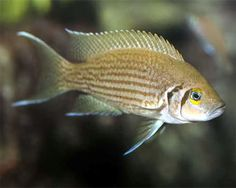 Neolamprologus olivaceous, Neolamprologus olivaceous Species Profile, Care Instructions, Feeding and more. :: Aquarium Domain.com