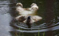 ZUMAPRESS.com Dmitry Feoktistov, ITAR-TASS / A polar bear enjoys a swim in a pool at the Bolsherechye Zoo in Omsk, Russia. July 2014