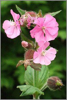 Irish Wildflowers - Red Campion