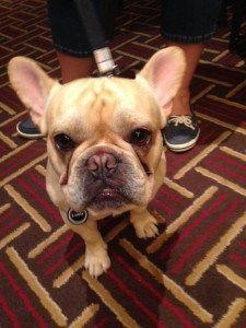 Louie the French Bulldog at BlogPaws