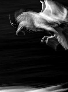 Tom Walker Herring gull - long exposure stills