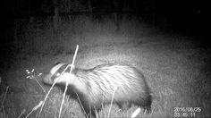 The badger - De das  26 en 27 juni 2016