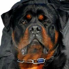she looks like my old dog Baby. Rottweiler Breeders, Rottweiler Puppies, Big Dogs, Cute Dogs, Dogs And Puppies, Doggies, Animals And Pets, Cute Animals, Rotten
