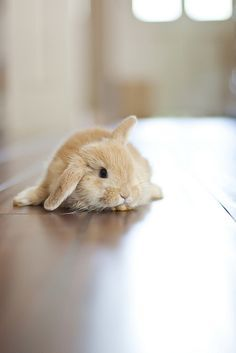 holland lop bunny Cute or what! Cute Baby Bunnies, Cute Baby Animals, Animals And Pets, Funny Animals, Cute Babies, Holland Lop Bunnies, Fluffy Bunny, Tier Fotos, Hamsters