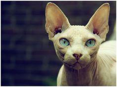 Sphynx cat hd photos