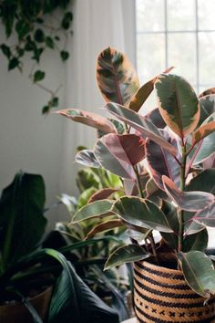 Pink Princess Philodendron, no this is a ficus or Rubber Tree