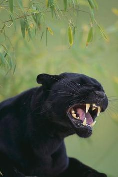 black panther animal Photographic Print: Black Leopard Snarling by DLILLC : Beautiful Cats, Animals Beautiful, Jaguar Noir, Cute Baby Animals, Funny Animals, Wild Animals, Black Panther Cat, Gato Grande, Black Jaguar