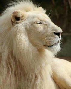 amazing Albino lion !